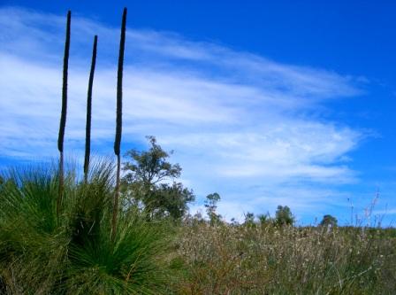 balga - grass tree